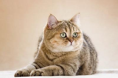 ผลการค้นหารูปภาพสำหรับ британские кошки окрасы