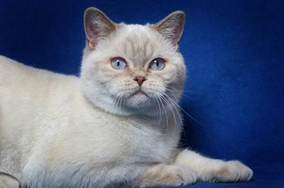 Британская кошка. О породе кошек: описание породы ...: http://cat.pet2me.com/ru/breed/Britanskaja_koshka/