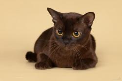 Порода кота шоколадного окраса