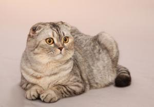 WISHMASTER Scottish Fold Cattery. Скотиш фолд