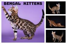 Kittens for sale bengal cat - Lithuania, Vilnius  Price 700