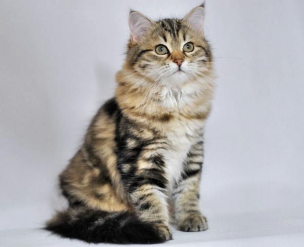 Сибирская кошка клуб в москве ночные клубы санкт петербурга секс