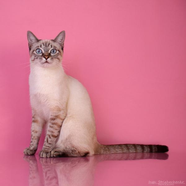 Клубы тайских кошек в москве английский клуб закрытая